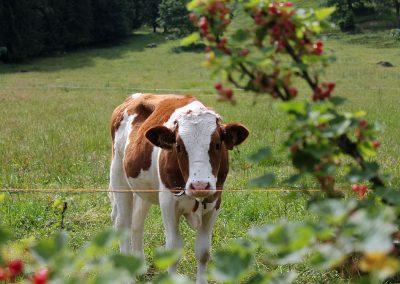 Unsere Rinder sind im Sommer auch da.