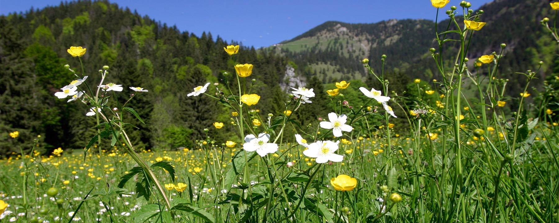 Weideblumen in der Spatenau mit Blick auf die Hochries